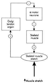 Golgi Tendon Organ