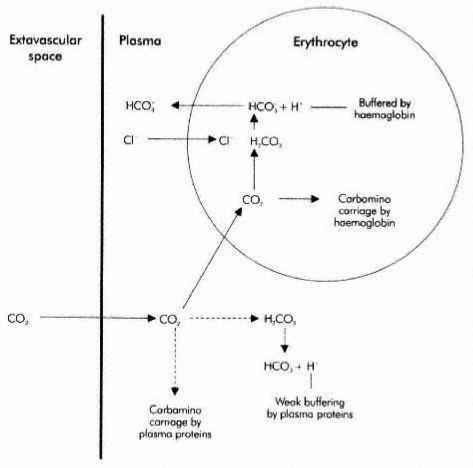 Co2 Transport Blood