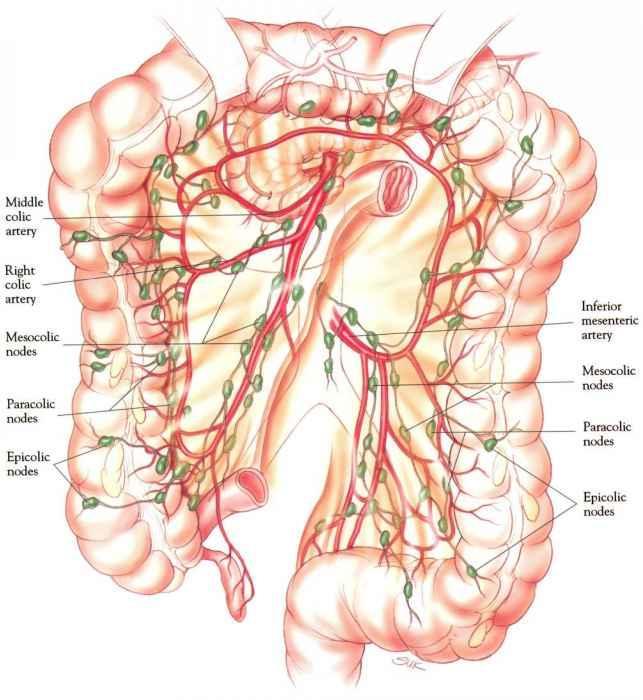 White line of toldt anatomy