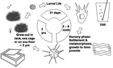 Sea Urchin Life Cycle Diagram Online Schematic Diagram