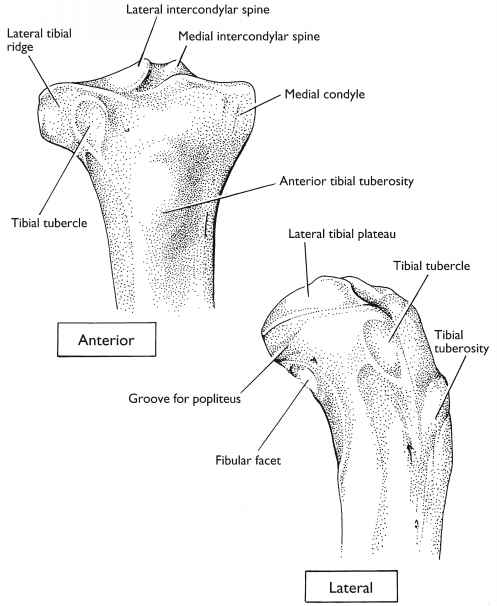Bony Landmarks Femur And Tibia Forensic Radiology