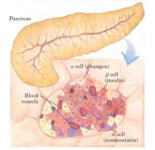 Healthy Pancreas And Insulin