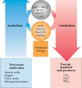 anabolic and catabolic reactions in a cell