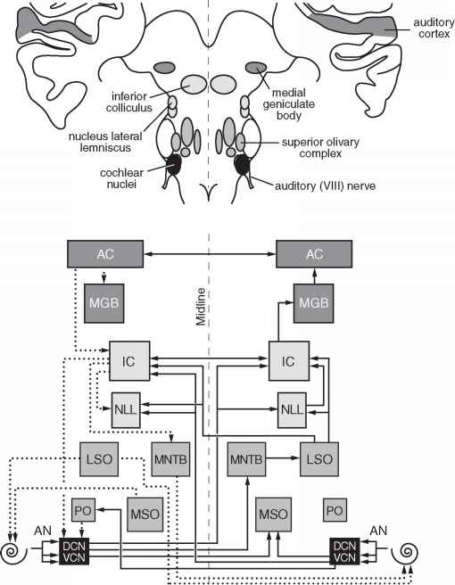 auditory pathway of hearing anatomy of central auditory
