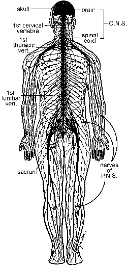 Nervous System Peripheral Neuropathy