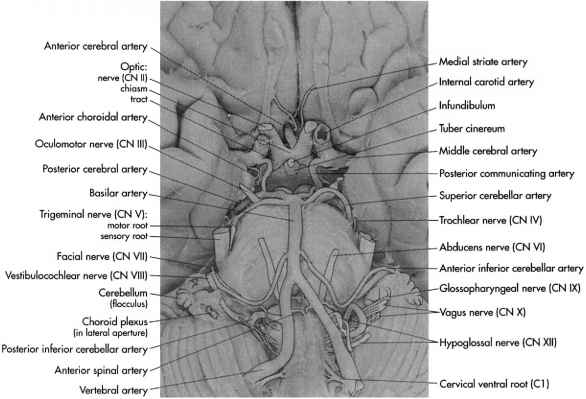 Human Brain Inferior View