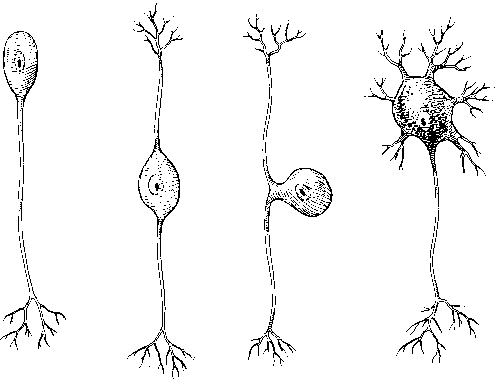 Neuron Shape