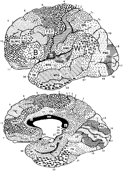 The limbic zone corticoid and allocortical formations human brain figure 1 lateral top and medial bottom views of the cerebral hemispheres the numbers refer to the brodmann cytoarchitectonic designations ccuart Gallery