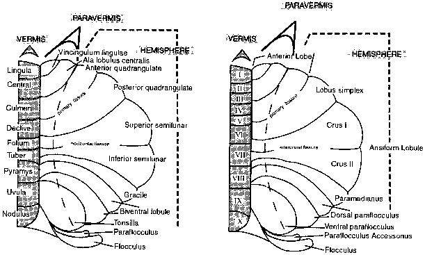 anatomic subdivision of cerebellum - human brain