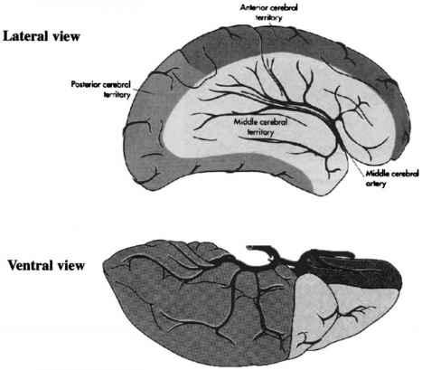 Normal Anatomy Of The Cerebral Arterial Vasculature Human Brain