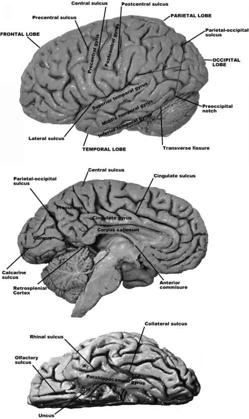 Brain Topography And Function