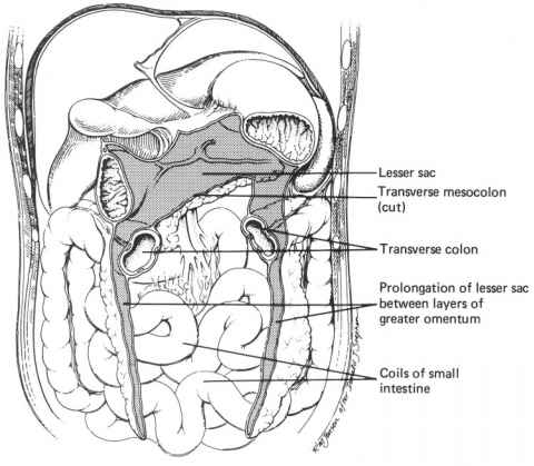 Sagittal Section The Mesocolon