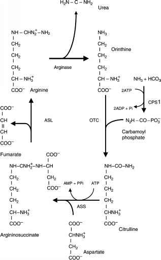 Ornithine Cycle
