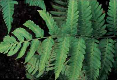 Common Fern Topical Uses Medicinal