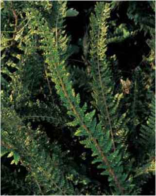 Polystichum Setiferum Ray Smith