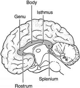 Corpus Callosum And Cerebral Cortex