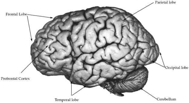 Brain Surface