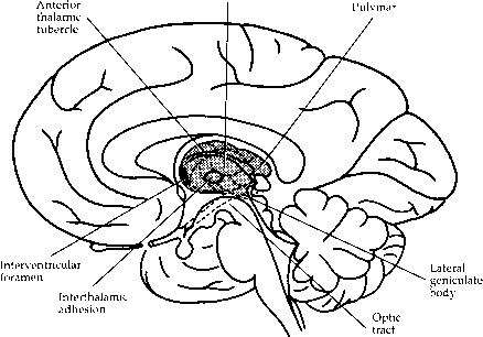 Path Visual Fibers Into The Thalamus