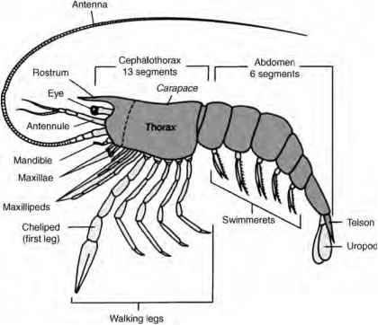 Arthropods Crabs Respiratory System