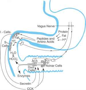 Secretin Secreted Cell