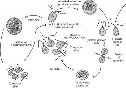 Asexual Reproduction Chlorophyta