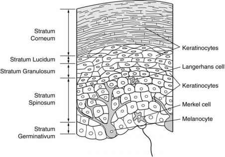 Microanatomy The Epidermis