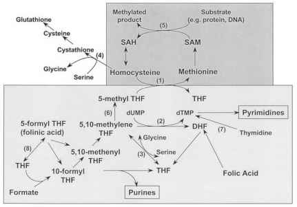 Methionine Homocysteine Cycle