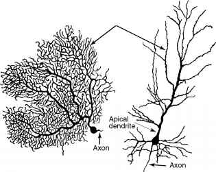Pyramidal Cells And Purkinje Cells