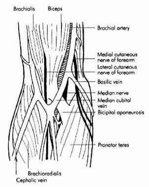 Antecubital Fossa Median Nerve