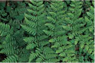 Pinnate Pinnatifd Fern Types Images